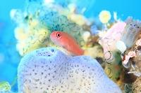 バリ島 カラフルな海中のイメージ ホヤと熱帯魚