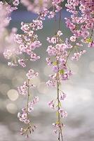 花 しだれ桜