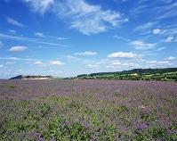 イギリス ルリジサの畑