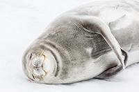 南極大陸 ウェッデルアザラシ