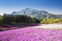 埼玉県 芝桜の丘
