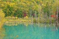 北海道  秋の青い池