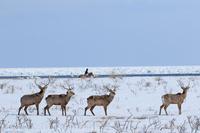 北海道 野付半島のホーストレッキングと牡鹿