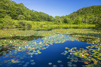 長野県 スイレン咲く志賀高原の一沼