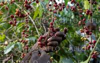 エチオピア産コーヒー 生産農家に密着