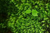 滋賀県 老木に着生する苔