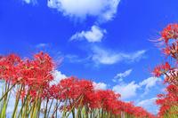 京都府 畔に咲く彼岸花と青空