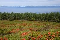長野県 美ヶ原のレンゲツツジと北アルプス