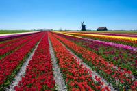 オランダ 春のチューリップ畑