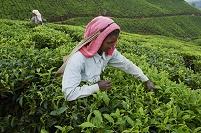 インド ケーララ州 茶畑で働く女性