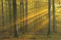 ドイツ バイエルン 光が差し込むブナ林