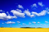 北海道 夏の小麦畑の丘と雲浮かぶ青空