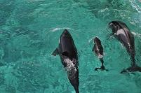 シャチの親子(新生児、水面呼吸)