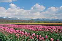 富山県 菜の花とチューリップ畑と北アルプスの山々