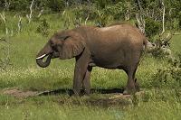 ジンバブエ ワンゲ国立公園 ゾウ