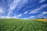 北海道 ジャガイモ畑と雲