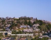 福島県 桜咲く霞ヶ城