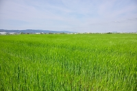 佐賀市 大麦畑