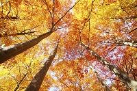 山形県 小国町 飯豊山麓 紅葉の森