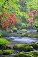 青森県 ヤマツツジ咲く朝霧漂う新緑の奥入瀬渓流 三乱の流れ