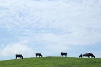 牧場の黒毛和牛