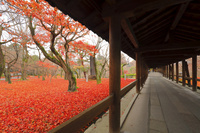 京都府 東福寺の敷き紅葉と通天橋