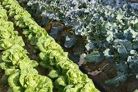 野菜 白菜とブロッコリの露地栽培
