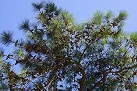 兵庫県 おのころ島神社 三鈷の松
