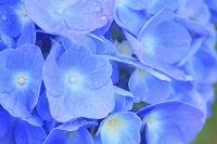 宮城県 仙台市 アジサイの花