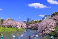 東京都 千鳥ヶ淵のサクラ