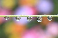 水滴に映る花 雨上がり