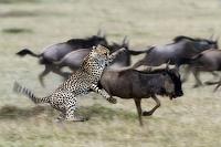 ケニア マサイマラ ヌーを襲うチーター