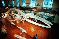 モナコ海洋博物館 シロナガスクジラの標本