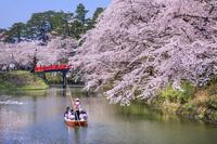 青森県 弘前公園の桜と中濠観光舟