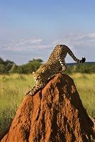 ナミビア エトーシャ国立公園  チーター