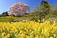 佐賀県 馬場の山桜と菜の花の花畑