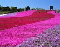 栃木県 市貝町芝ざくら公園