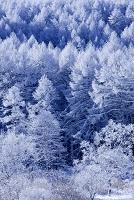 長野県 聖高原 霧氷