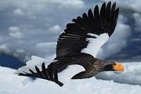 オオワシ 流氷の海を飛ぶ