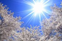長野県 独鈷山千本桜 ソメイヨシノと太陽の光芒