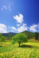 長野県 安曇野市 菜の花畑と住吉神社奥社などの里山と木立と水...
