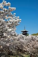 京都府 御室 仁和寺の桜