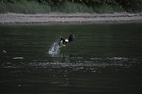 アメリカ アラスカ アイシーストレート 魚を捕らえるハクトウ...