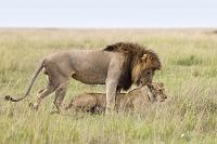 2匹のライオン