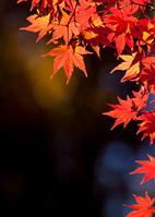赤色の楓の葉