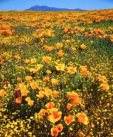 アメリカ合衆国 ハナビシソウ咲く春のクリーブランド国立森林公園