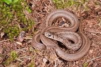 デカイヘビ