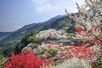 高知県 上久喜の花桃