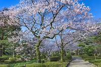 石川県 兼六園と桜