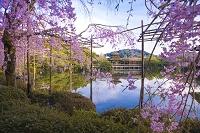 京都府 平安神宮 しだれ桜